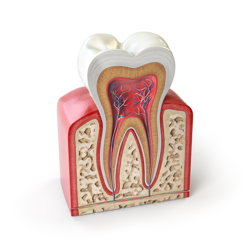 Town & County Dental Care Dental tooth anatomy. Cross section of human tooth root canals